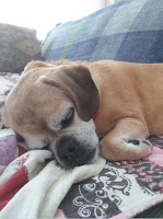 Cute puggle sleeping on the couch