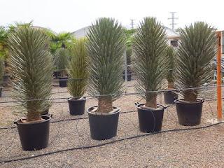 Yuka - Yucca australis, Filifera, Liliaceae, 29 Jenis Tanaman yang Sering Dijadikan Penghias Taman - honaylandscape.blogspot.com