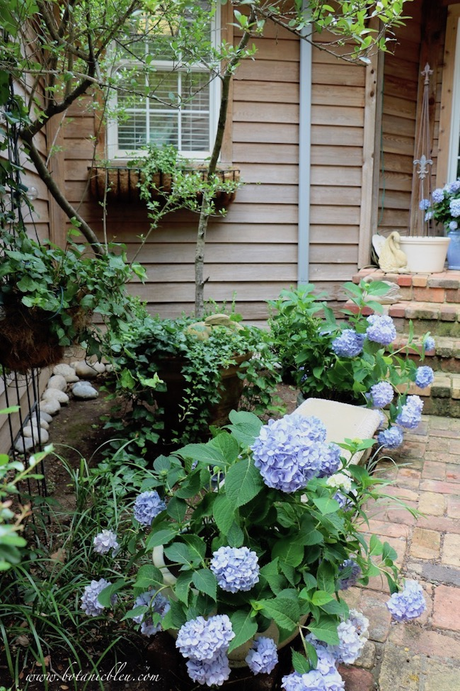 Summer Courtyard Blue Hydrangeas beautify hidden garden