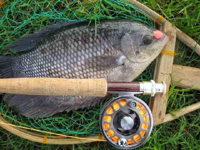 Umpan Ikan Gurame Liar Kolam Harian Dan Malam Hari