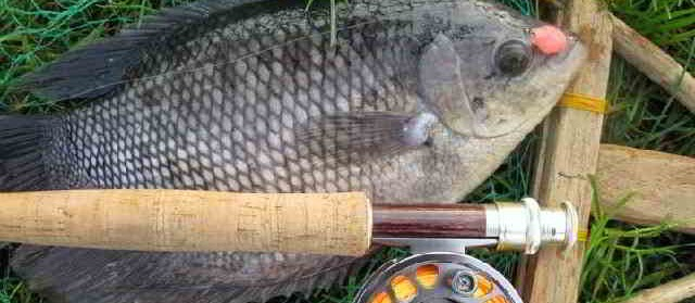 Umpan Ikan Gurame Liar, Kolam Harian dan Malam Hari