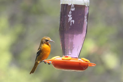female Baltimore oriole at feeder