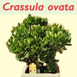 Jenis Tanaman Crassula ovata Untuk Mengurangi Polusi Di dalam ruangan rumah