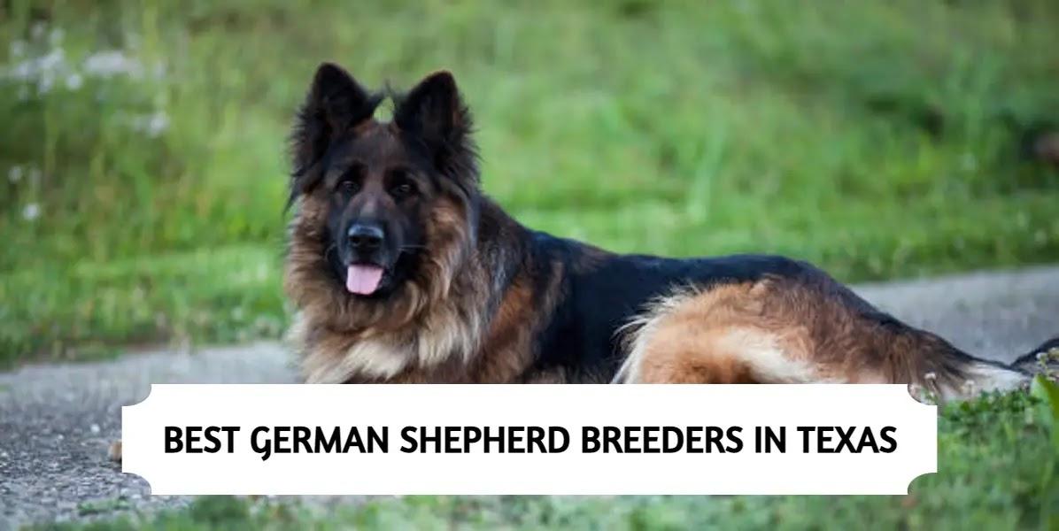 Best German Shepherd Breeders in Texas