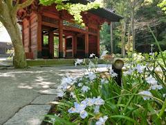 妙本寺のシャガ