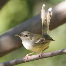Settingan Yang Pas Untuk Suara Ngebren Burung Ciblek