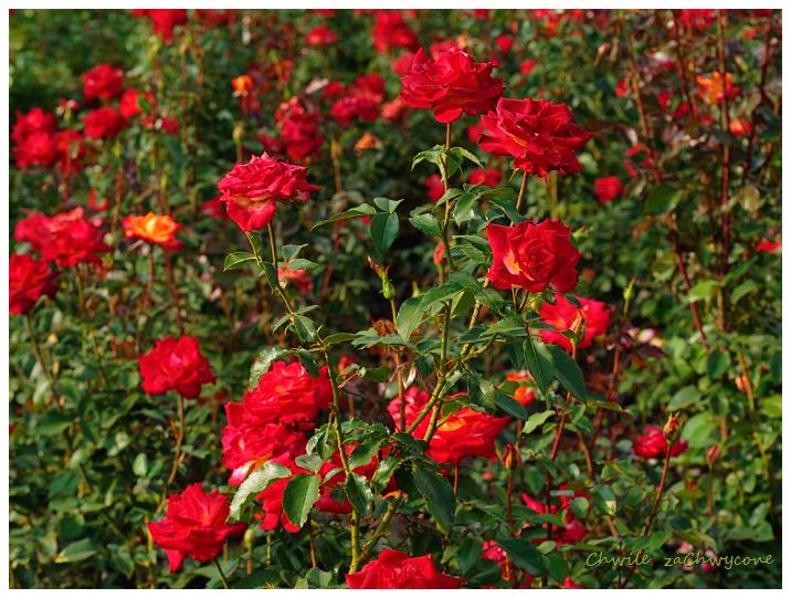 rosa Mein Munchen