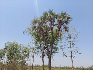 4 Headed palm tree Laxmisagar Bankura