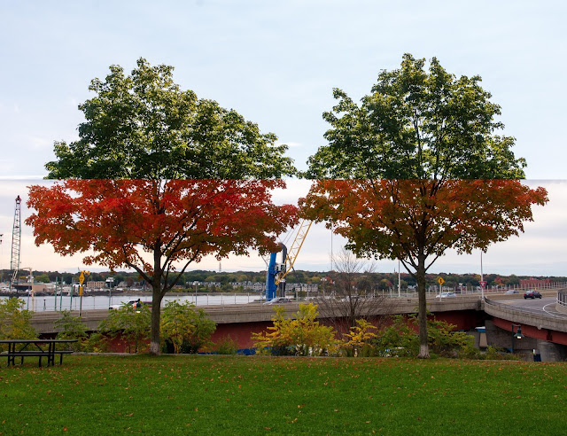 Portland, Maine photo by Corey Templeton. A summer (September 2020) and autumn (October 2019) mash up of two trees in Harbor View Memorial Park.