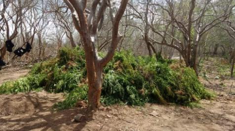 Em Mata Grande/AL, polícia apreende cerca de 5 mil pés de maconha