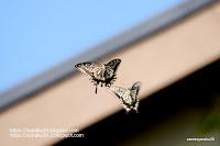 飛び交うアゲハチョウの写真