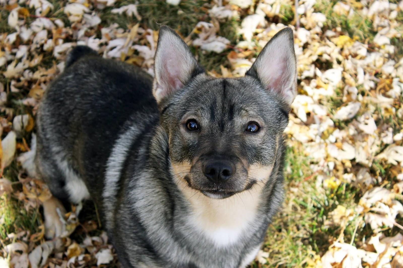 White Wolf : Meet the Swedish Vallhund, an amazing looking ...