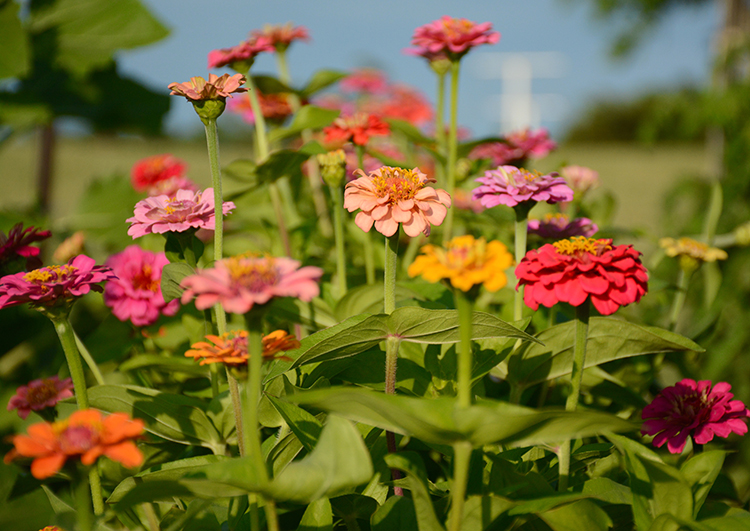 Gardening; Zinnias | My Darling Days