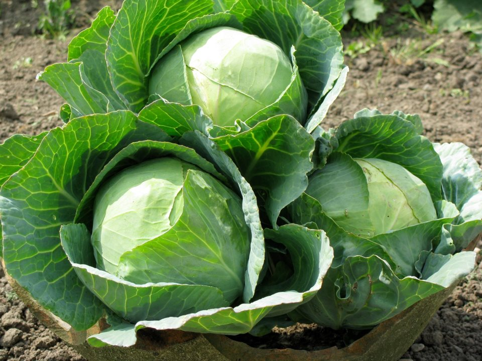 Growing Cabbages In Kenya For Wealth And Employment Creation