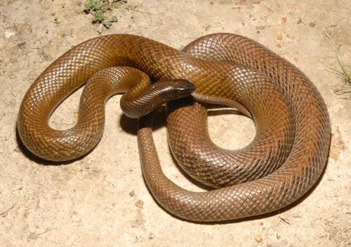 ular Inland Taipan