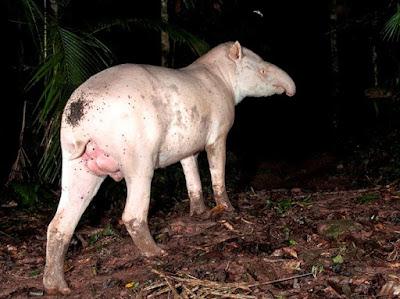 Pesquisa com antas albinas do Legado das Águas ganha repercussão internacional