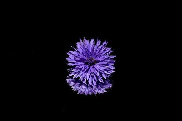 fiore aster