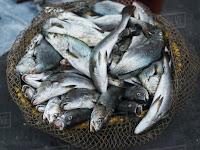Manfaat omega-3 di ikan bagi tubuh