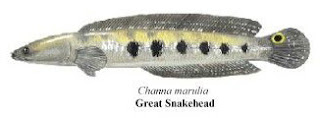 great snakehead