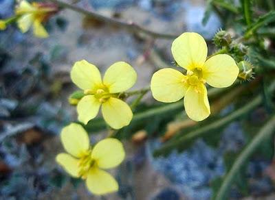 Jaramago (Diplotaxis muralis) flor amarilla
