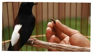 Burung diberi pakan jangkrik