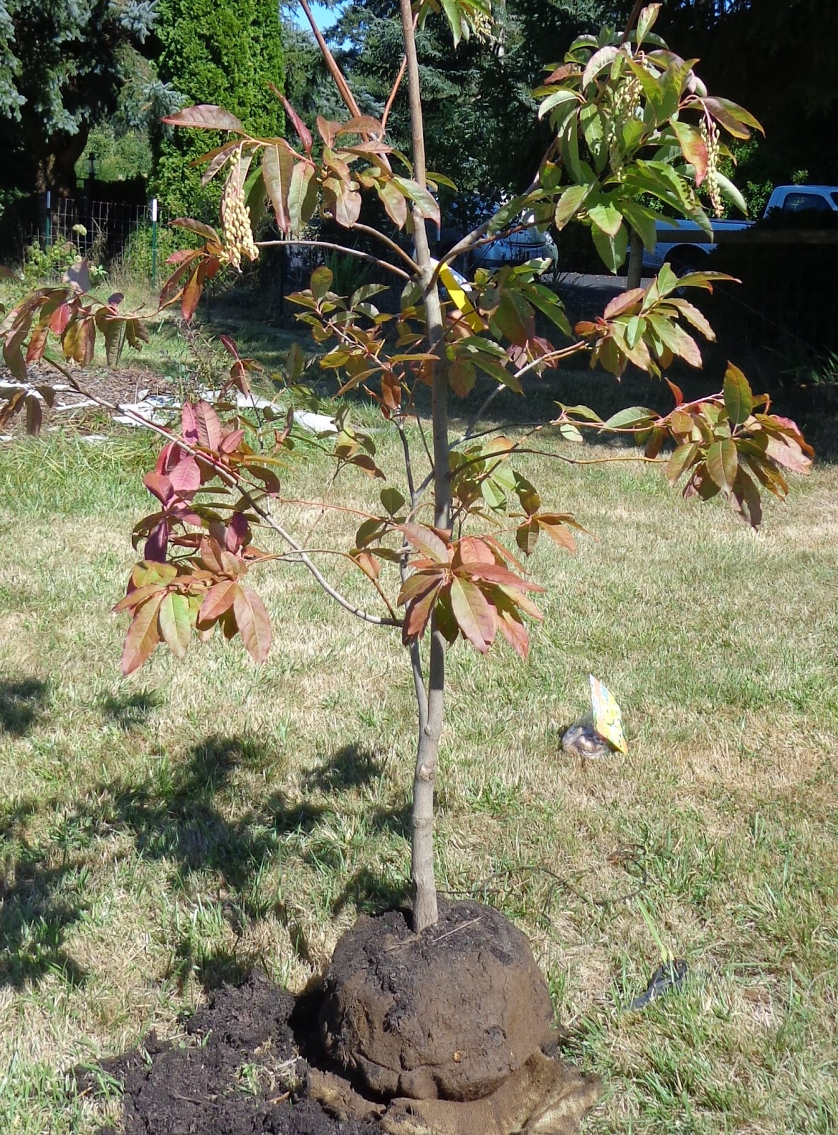 growing greener in the pacific northwest planting a sourwood tree