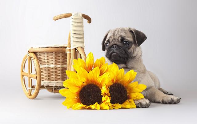 Foto van een hond met gele zonnebloemen