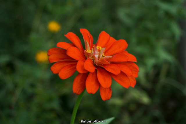 Zinnia, Huang Qiuying, onion lotus and other flower language series