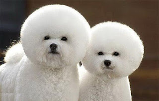 Alien looking bichon dogs