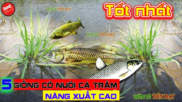 5 giống cỏ nuôi cá trắm năng xuất cao