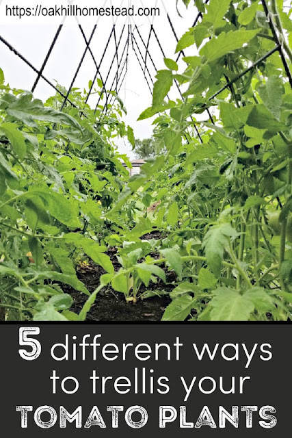 Tomato plants should be trellised or staked up so they're off the ground. Here are 5 days to do it.