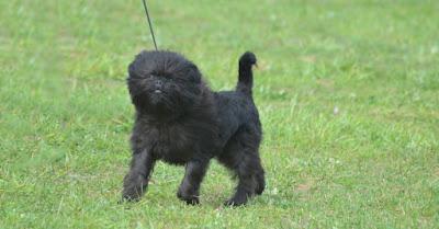Küçük köpek cinsleri nelerdir?, Büyümeyen köpek cinsleri nelerdir?,Küçük Irk Köpekler Nelerdir?,Süs köpek cinsleri nelerdir?