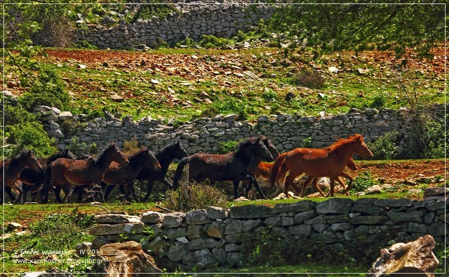 Τα άγρια άλογα στην Ξάνθη που καλπάζουν εδώ και αιώνες