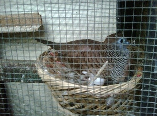 Perkawinan Indukan Burung Perkutut yang Baik - www.radenpedia.com