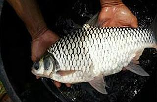 Umpan Ikan Tawes Kecil Sampai Babon Kena