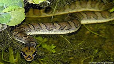 gambar ular kadut