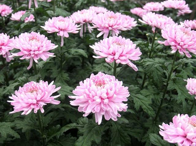 Цветок имени Зинаида хризантема