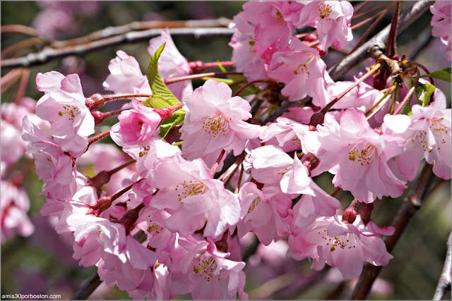 Flores de Sakura o Cerezo Japonés en la Esplanade de Boston
