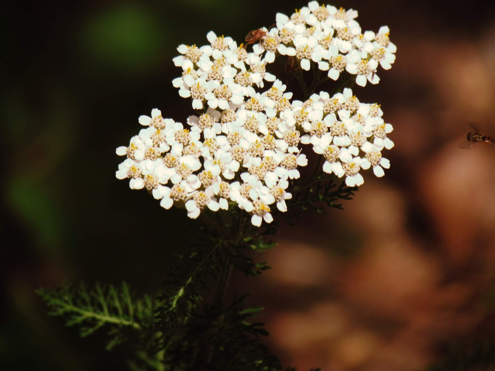 Working with white yarrow healing properties + magical flower properties for botanicals