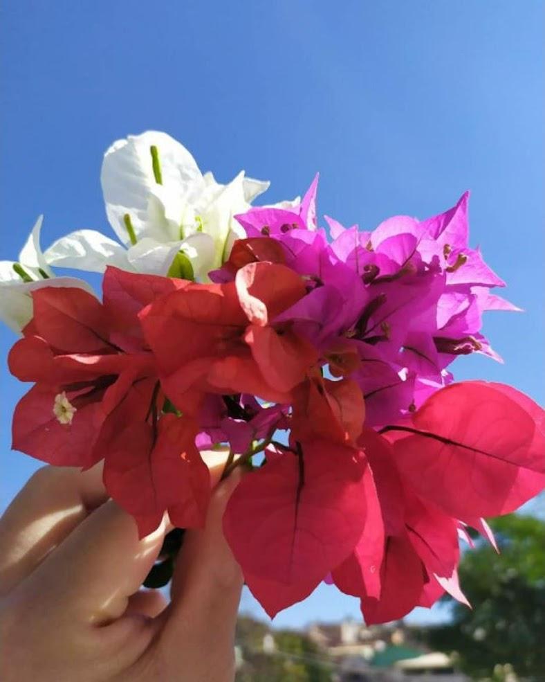Tanaman hias Bunga bougenville 1 batang 3 warna merah ungu putih Bougainville sambung pucuk Makassar