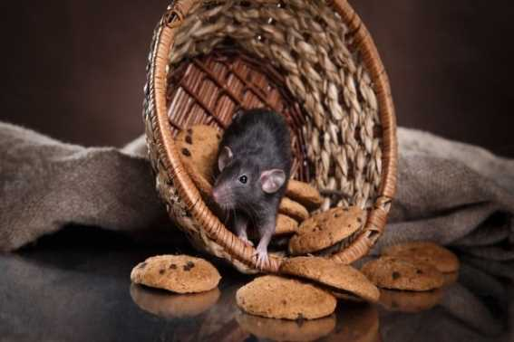 Yuk Intip Cara Mengusir Tikus yang Ampuh
