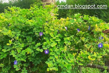 Apa saja manfaat bunga kembang telang?