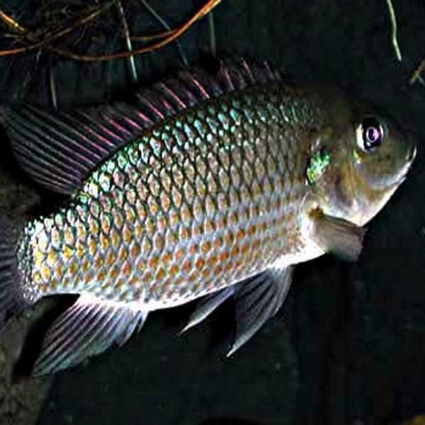 Manfaat-Ikan-Mujair