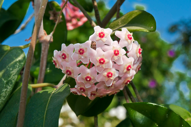 gardenija-biljke-cvijeće-dom-mirisna-oaza-čokoladna-menta-hoya-voštani-cvijet-francuska-lavanda