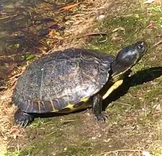 photo; Giorgio Coniglio; painted turtle; Chrysemys picta; reptile