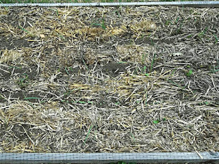 straw used as mulch in the raised bed