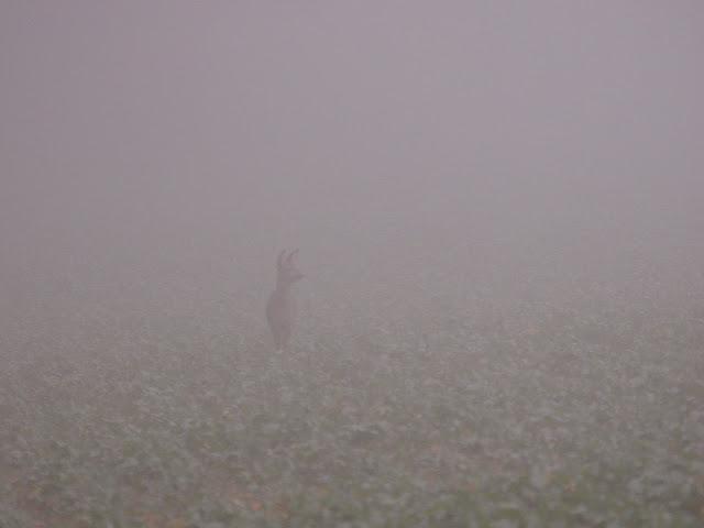 Reh im Nebel. Ich konnte sie mehrere Minuten beobachten und fotografieren.
