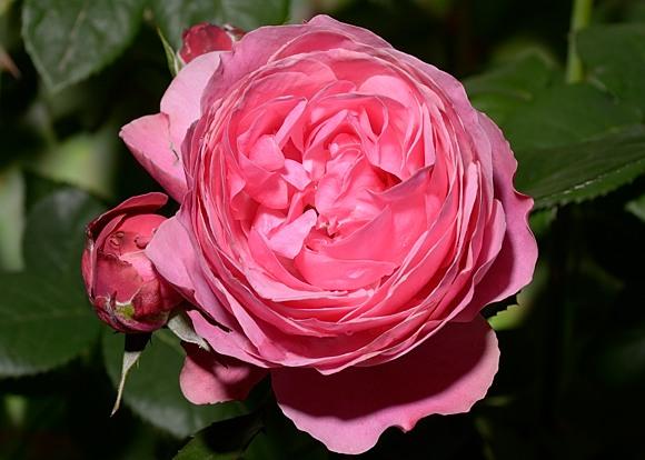 Leonardo da Vinci rose сорт розы фото