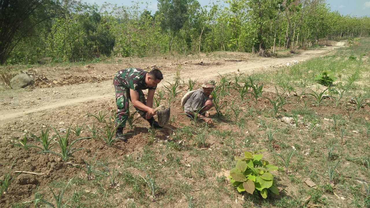 Babinsa Koramil 0805/01 Ngawi Bantu Petani Bersihkan Rumput Di Tanaman Jagung