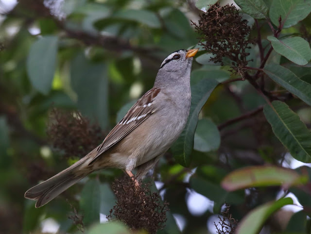 The pale lores and orangish bill help identify the Gambel's White-crowned Sparrow.